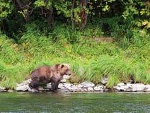 El oso salvaje grande camina por el río foto de archivo