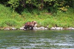 El oso salvaje grande camina por el río fotos de archivo