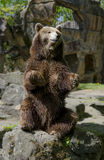 El oso se está sentando Foto de archivo libre de regalías