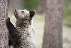 El oso y el árbol Fotografía de archivo