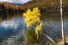 El otoño, abedul con amarillo se va sobre un lago Foto de archivo libre de regalías