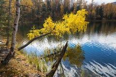 El otoño, abedul con amarillo se va sobre un lago Foto de archivo