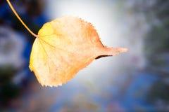 El otoño amarilleó la hoja seca del abedul en un fondo borroso Foto de archivo