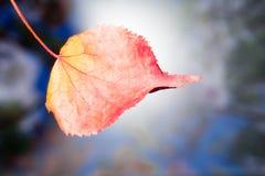 El otoño amarilleó la hoja seca del abedul en un fondo borroso Foto de archivo libre de regalías