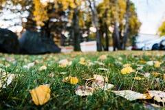 El otoño cercano para arriba de la hierba con el abedul se va Fotografía de archivo