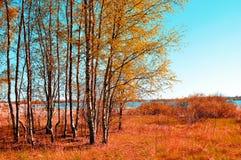 El otoño coloreó el paisaje - pequeño bosque del abedul en tiempo soleado del otoño Opinión pintoresca del otoño Foto de archivo