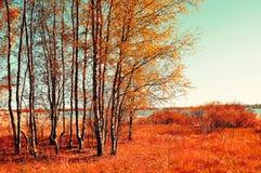 El otoño coloreó el paisaje - pequeño bosque del abedul en tiempo soleado del otoño Opinión pintoresca del otoño Imagen de archivo libre de regalías