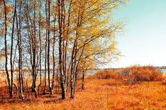 El otoño coloreó el paisaje - pequeño bosque del abedul en tiempo soleado del otoño Opinión pintoresca del otoño Imagen de archivo