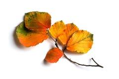 El otoño coloreó las hojas Fotografía de archivo libre de regalías