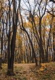 El otoño colorea las hojas en el bosque Foto de archivo libre de regalías