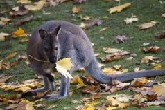 El otoño de Kangaroosfotos de archivo libres de regalías