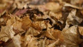 El otoño decorativo marchitó las hojas caidas en fondo almacen de metraje de vídeo