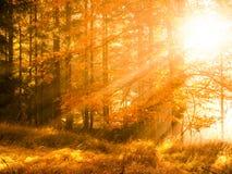 El otoño en paisaje caliente hermoso del bosque de la haya con el primer sol de la mañana irradia en bosque otoñal brumoso Imagen de archivo libre de regalías