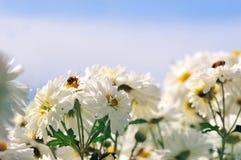 El otoño florece el fondo del crisantemo con la abeja Imagen de archivo