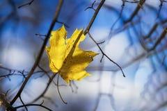 El otoño pasado hoja de arce en las ramas de árbol vacías contra el contexto del cielo azul frío Estaciones, humor nostálgico Foto de archivo