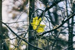 El otoño pasado hoja de arce en ramas vacías de un árbol contra un cielo azul frío Estaciones, concepto nostálgico del humor Fotos de archivo
