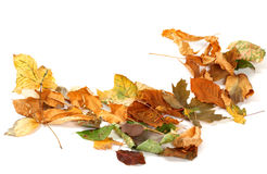El otoño secó las hojas aisladas en blanco Fotografía de archivo