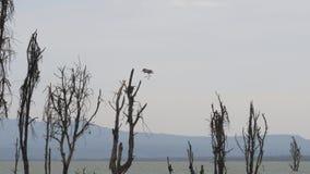 El pájaro africano saca de las orillas del lago Naivasha y de moscas a los ganchos muertos almacen de metraje de vídeo