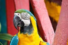 El pájaro Azul-y-amarillo del Macaw. Imagen de archivo libre de regalías