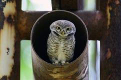 El pájaro, búho, manchó el brama del Athene del mochuelo en el tubo del metal, pájaro de T fotografía de archivo libre de regalías