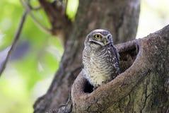 El pájaro, búho, manchó el brama del Athene del mochuelo en hueco del árbol fotos de archivo libres de regalías