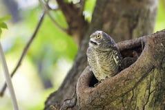 El pájaro, búho, manchó el brama del Athene del mochuelo en hueco del árbol imágenes de archivo libres de regalías