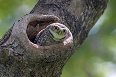El pájaro, búho, manchó el brama del Athene del mochuelo en hueco del árbol fotografía de archivo libre de regalías