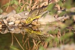 El pájaro bebe el agua Fotos de archivo