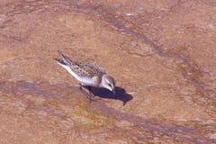 El pájaro camina en rocas con el agua hirvienda fotos de archivo