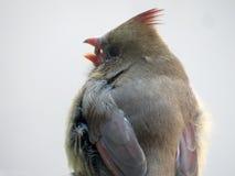 El pájaro cardinal femenino come la semilla de la uva Fotografía de archivo libre de regalías