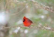 El pájaro cardinal septentrional se encaramó en árbol con la nieve, Georgia, los E.E.U.U. imágenes de archivo libres de regalías