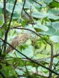 El pájaro chino de la garza de la charca encendido preched en naturaleza Foto de archivo libre de regalías