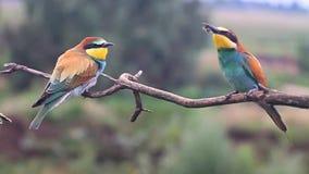 El pájaro coloreado en la rama come la cámara lenta de las abejas almacen de video