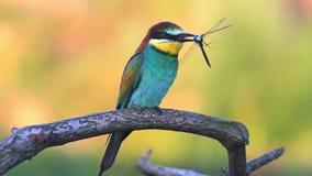El pájaro coloreado sostiene una libélula azul en el pico que se sienta en una rama almacen de metraje de vídeo