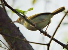 El pájaro común del sastre imagen de archivo