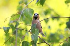 El pájaro con un pico impresionante se está sentando entre las hojas o Fotografía de archivo libre de regalías