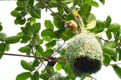 El pájaro construye a casa Fotos de archivo