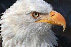 El pájaro de América Imagenes de archivo