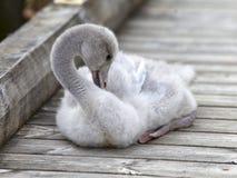 El pájaro de bebé de un cisne limpia plumas en el amarre Imagen de archivo