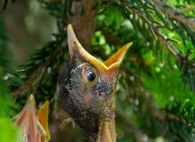 El pájaro de bebé hambriento abre de par en par el deseo de la comida Foto de archivo