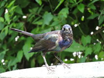El pájaro de Grackle asume el control el baño del pájaro Imagen de archivo
