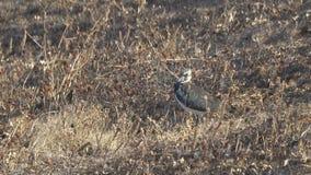 El pájaro de la avefría está entre hierba seca almacen de metraje de vídeo