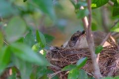 El pájaro de la madre toma a cuidado sus huevos en la jerarquía Imágenes de archivo libres de regalías