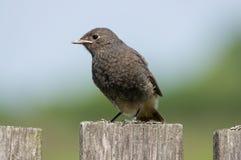 El pájaro de los ochruros del Phoenicurus se sienta en la cerca Foto de archivo