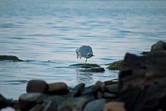 El pájaro de mar limpia su cabeza Imagen de archivo