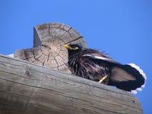 El pájaro de Myna común después de una ducha Imágenes de archivo libres de regalías