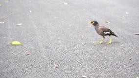 El pájaro de Myna es comida del hallazgo metrajes