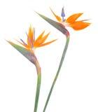 El pájaro de paradize la flor Imagen de archivo libre de regalías