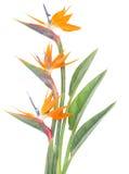 El pájaro de paradize la flor Imagenes de archivo