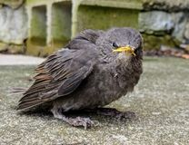 El pájaro de reclinación mira directamente la cámara foto de archivo libre de regalías